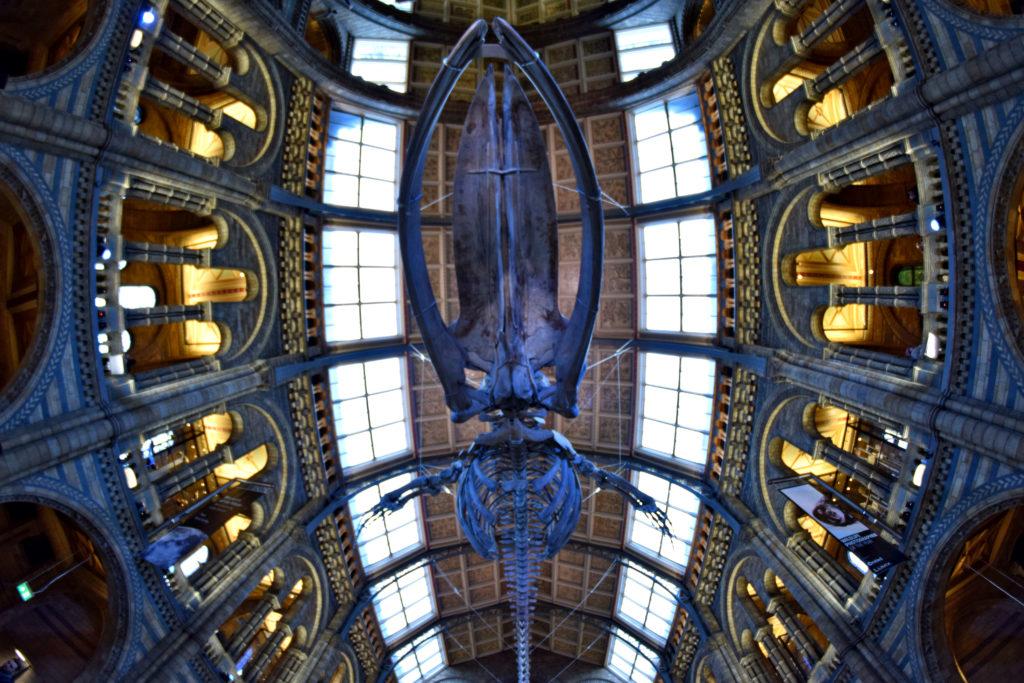 Muzeum Historii Naturalnej w Londynie - darmowe atrakcje. Szkielet płetwala błękitnego. Choć ukazany w 'rybim oku' i tak się nie zmieścił w kadrze ;)