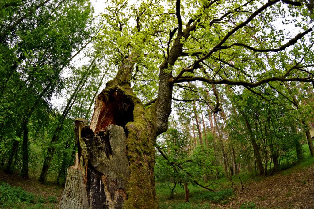 Kaszubski Park Narodowy - Dąb Bartuś