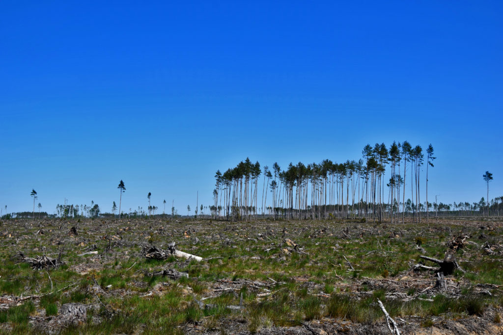Bory Tucholskie drzewa wichura