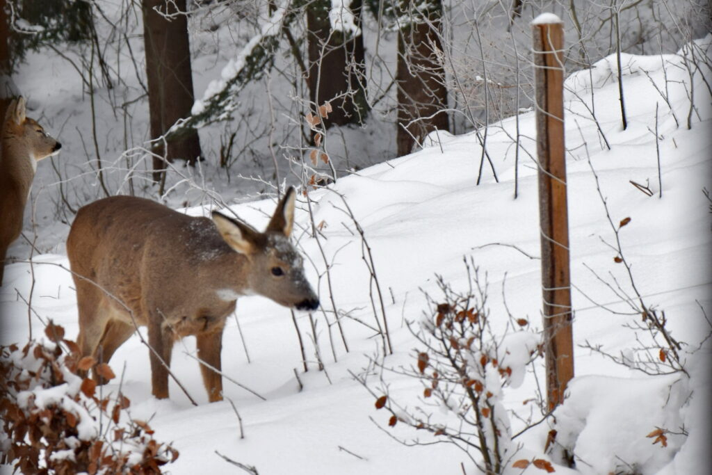 Magurski Park Narodowy - sarny, sarna zimą.