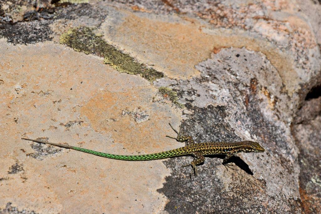 Korsyka Calanques de Piana jaszczurka