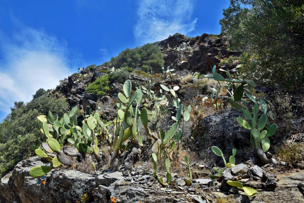 Korsyka, Cap Corse, kaktusy francja
