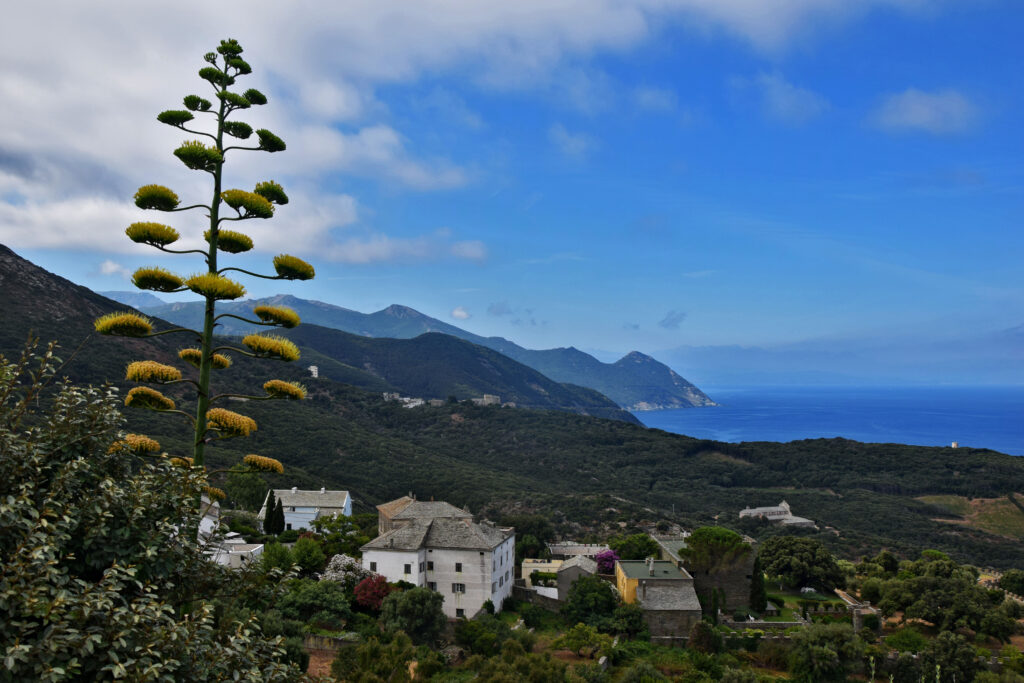 Kwitnąca agawa Korsyka Cap Corse