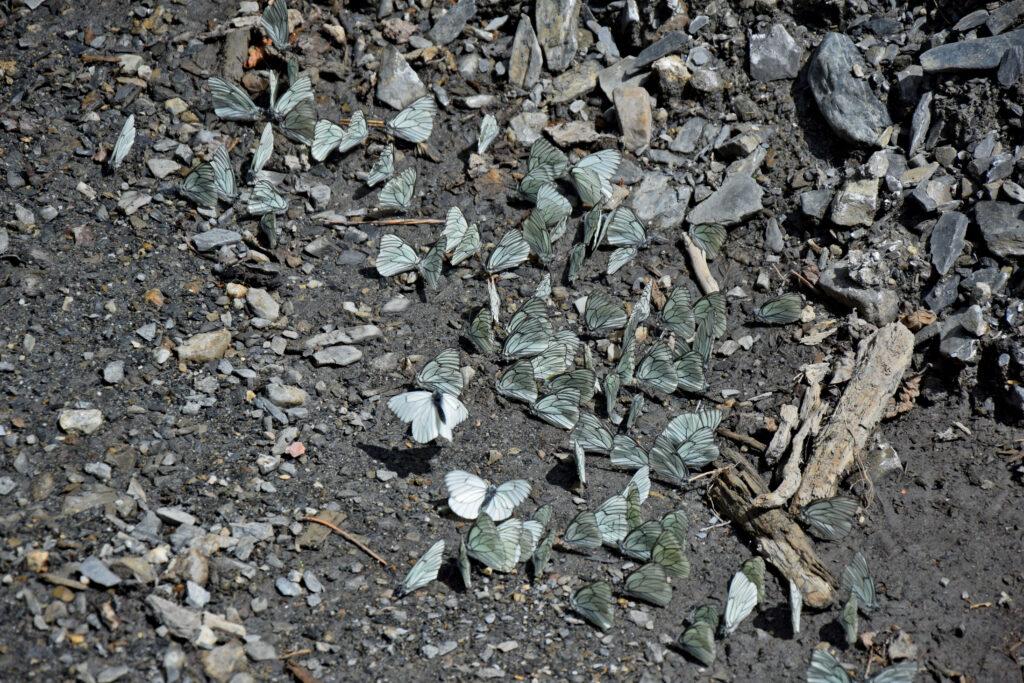 Motyle Zgrupowanie motyli na drodze do Adishi.